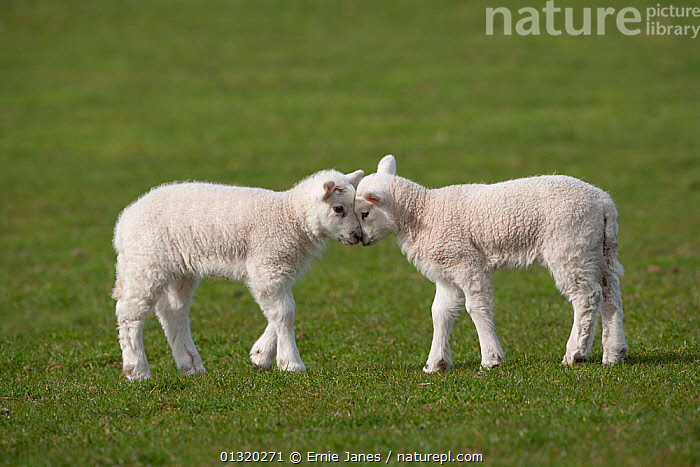Domestic Sheep Two Lambs Play Head Butting In A Field Norfolk UK