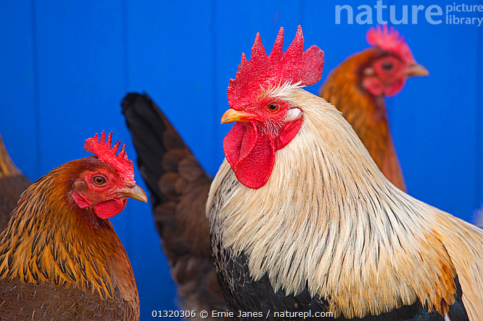 Nature Picture Library - Domestic chicken, Welsummer Bantum cock and