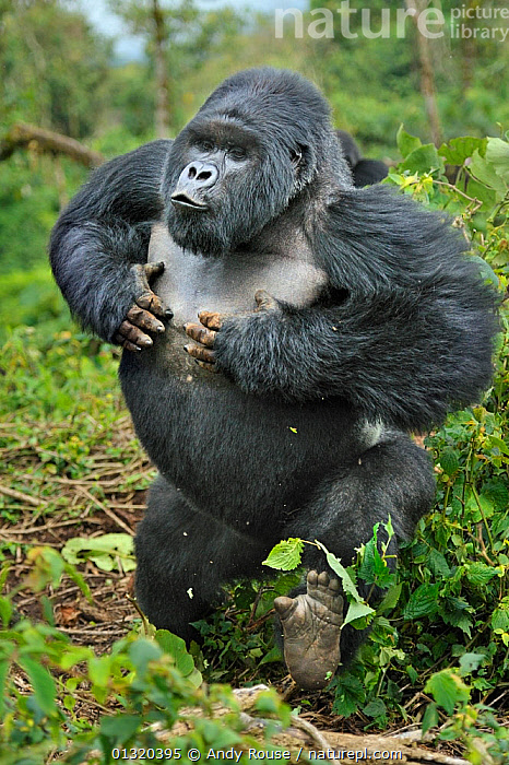 Mountain gorilla (Gorilla beringei) silverback beating chest and charging forward, Susa group, Parc National des Volcans, Rwanda, HIGHLY COMMENDED, MAMMAL BEHAVIOUR, 2011 WILDLIFE PHOTOGRAPHER OF THE YEAR COMPETITION Not available for ringtone/wallpaper use.  ,  AFRICA,AGGRESSION,APE,BEHAVIOUR,BIPIDEL,CENTRAL AFRICA,DOMINANCE,ENDANGERED,GREAT APES,KWITONDA,MALES,MAMMALS,MOVEMENT,NP,PONGIDAE,PRIMATES,RESERVE,RWANDA,SOCIAL BEHAVIOUR,TROPICAL RAINFOREST,VERTEBRATES,VERTICAL,VOCALISATION,WALKING,Concepts,National Park,RINGTONE  ,  Andy Rouse