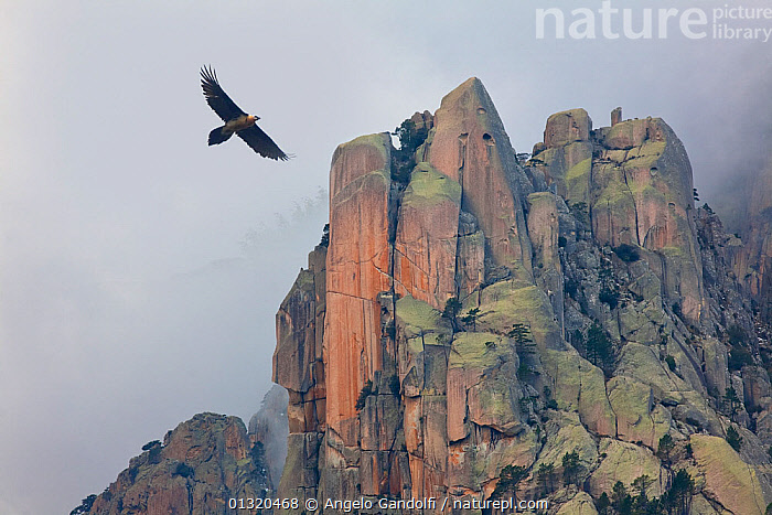 Bearded vulture (Gypaetus barbatus) in flight over  rocky outcrops, Monte Incudine,  Parc Naturel Regional de Corse, Corsica island, France, February  ,  animals in the wild,BEARDED-VULTURE,BIRDS,BIRDS-OF-PREY,catalogue3,CLIFFS,corsica,DRAMATIC,flight,FLYING,FRANCE,ISLANDS,LANDSCAPES,low angle view,MEDITERRANEAN,Monte Incudine,MOUNTAINS,Nobody,NP,Ominous,one animal,outcrop,outdoors,overcast,Parc Naturel Regional de Corse Corsica island,rock formation,VERTEBRATES,VULTURES,WILDLIFE,wings spread,GYPAETUS BARBATUS,Animal,Wildlife,Vertebrate,Bird,Birds,Vulture,Lammergeier,Animalia,Animal,Wildlife,Vertebrate,Aves,Bird,Birds,Accipitriformes,Accipitridae,Gypaetus,Vulture,Old world vulture,Gypaetus barbatus,Lammergeier,Bearded vulture,Lammergeyer,Birds of Prey,Raptor,  ,  Angelo Gandolfi