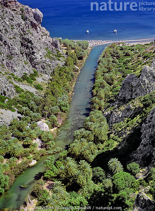 Cretan palm trees (Phoenix theophrasti) growing along the Kourtaliotic gorge, at the mouth of the river Megalos Potamos, Crete, Greece.  ,  ARECACEAE, COASTS, ENDEMIC, FORESTS, GREECE, LANDSCAPES, MEDITERRANEAN, MONOCOTYLEDONS, PALMS, PLANTS, RIVERS, sea, TREES, VERTICAL, WATER,Europe  ,  Angelo Gandolfi
