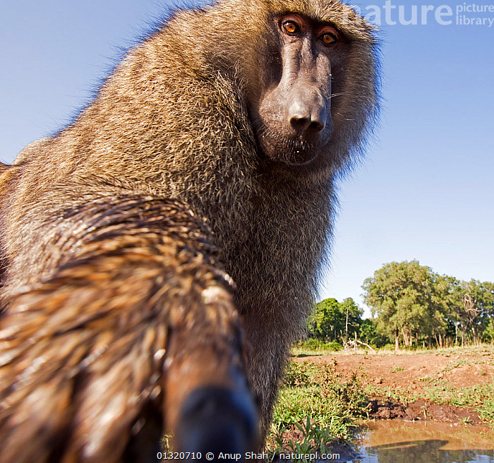 Savanna baboon, olive race (Papio cynocephalus anubis) head portrait of male, reaching out. Masai Mara National Reserve, Kenya. August  ,  AFRICA,animal head,animal portrait,BABOONS,catalogue3,close up,CLOSE UPS,curiosity,Curious,EAST AFRICA,facial expression,front view,FUR,hand gesture,HANDS,HEADS,Kenya,looking at camera,Low angle,male animal,MALES,MAMMALS,Masai Mara,MONKEYS,National Reserve,Nobody,one animal,outdoors,PORTRAITS,PRIMATES,Reaching,REMOTE CAMERA,RESERVE,VERTEBRATES,VERTICAL,WILDLIFE,,Selfie,  ,  Anup Shah