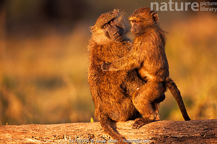 Olive baboon (Papio cynocephalus anubis) juveniles playing, Masai Mara National Reserve, Kenya. March  ,  BABOONS,EAST AFRICA,JUVENILE,MAMMALS,MONKEYS,PLAYING,PRIMATES,RESERVE,TWO,VERTEBRATES  ,  Anup Shah