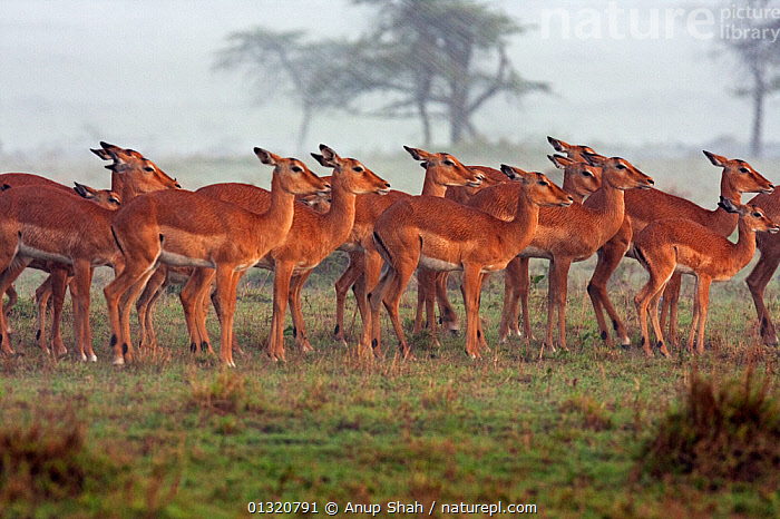 Impala herd (Aepyceros melampus) huddled together in the rain, Masai Mara National Reserve, Kenya. April  ,  AFRICA,alert,ARTIODACTYLA,bad weather,BEHAVIOUR,BOVIDS,BROWN,catalogue3,direction,EAST AFRICA,full length,GROUPS,herd,Herds,IMPALAS,Kenya,large group,large group of animals,MAMMALS,Masai Mara,National Reserve,Nobody,outdoors,RAIN,RAINING,RESERVE,safety in numbers,side view,STANDING,Togetherness,unity,VERTEBRATES,WEATHER,WILDLIFE,Antelopes  ,  Anup Shah