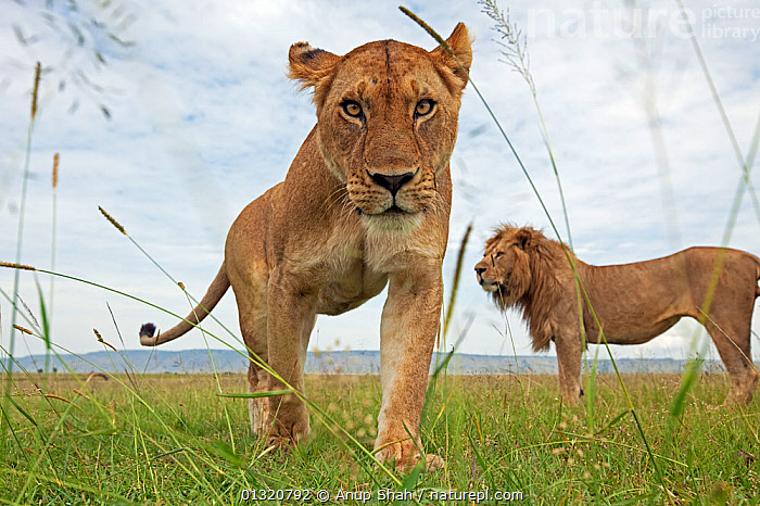 African lioness (Panthera leo) portrait with male behind, Masai Mara National Reserve, Kenya. February  ,  BIG CATS,CARNIVORES,EAST AFRICA,FEMALES,LIONS,LOW ANGLE SHOT,MALES,MAMMALS,PORTRAITS,REMOTE CAMERA,RESERVE,VERTEBRATES,,Personal Point of View,  ,  Anup Shah