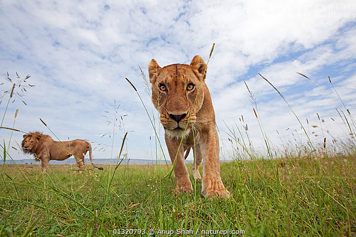 African lioness (Panthera leo) portrait with male behind, Masai Mara National Reserve, Kenya. February  ,  BIG CATS,CARNIVORES,EAST AFRICA,FEMALES,GRASSLAND,LIONS,MALES,MAMMALS,PORTRAITS,REMOTE CAMERA,RESERVE,VERTEBRATES  ,  Anup Shah