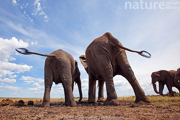 African elephants (Loxodonta africana) rear view, drinking at a water hole, Masai Mara National Reserve, Kenya. March  ,  AFRICA,animal family,catalogue3,contented,DRINKING,EAST AFRICA,ELEPHANTS,ENDANGERED,bookplate,serengeti spy,FAMILIES,full length,GROUPS,happiness,Herds,Kenya,LEGS,LOW ANGLE SHOT,MAMMALS,Masai Mara,National Reserve,Nobody,outdoors,PROBOSCIDS,rear view,Rear view,RESERVE,satisfaction,SKY,small group,small group of animals,STANDING,TAILS,Togetherness,two animals,VERTEBRATES,WATER,WATERHOLE,watering hole,WILDLIFE,young animal  ,  Anup Shah