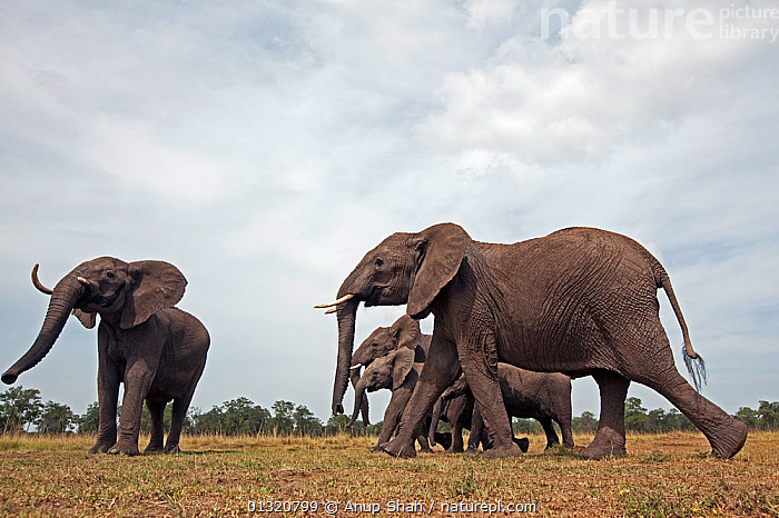 African elephant family (Loxodonta africana) on the move, Masai Mara National Reserve, Kenya. March  ,  EAST AFRICA,ELEPHANTS,ENDANGERED,FAMILIES,JUVENILE,MAMMALS,PORTRAITS,PROBOSCIDS,REMOTE CAMERA,RESERVE,VERTEBRATES,WALKING  ,  Anup Shah