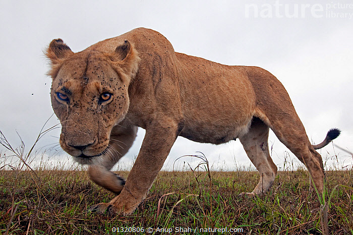 African Lioness (Panthera leo) portait, with flies on her face, Masai Mara National Reserve, Kenya. April  ,  BIG CATS,CARNIVORES,EAST AFRICA,FEMALES,FLIES,LIONS,LOW ANGLE SHOT,MAMMALS,PORTRAITS,REMOTE CAMERA,RESERVE,VERTEBRATES,WALKING  ,  Anup Shah
