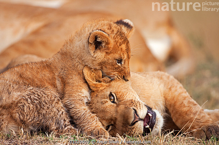 African Lion cub (Panthera leo) aged about 4 months, playing boisterously with an older cub aged 9 months, Masai Mara National Reserve, Kenya. August.  ,  BABIES,BIG CATS,CARNIVORES,EAST AFRICA,FUN,INTERACTION,JUVENILE,LIONS,MAMMALS,PLAY,PLAYING,RESERVE,VERTEBRATES,Communication  ,  Anup Shah