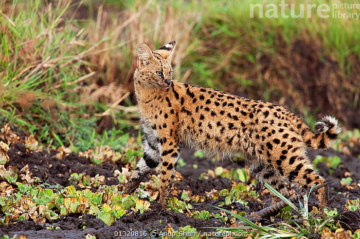 Serval (Felis / Leptailurus serval) male feeding on a gazelle carcass in marshland Masai Mara National Reserve, Kenya. August  ,  BEHAVIOUR,CARNIVORES,CATS,EAST AFRICA,FEEDING,FELIS SERVAL,KILL,MALES,MAMMALS,PREY,RESERVE,VERTEBRATES  ,  Anup Shah