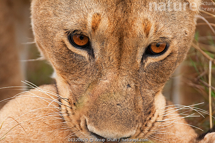 African Lioness (Panthera leo) close up of face with a cub in her mouth, Masai Mara National Reserve, Kenya. August  ,  BABIES,BIG CATS,CARNIVORES,CARRYING,CLOSE UPS,EAST AFRICA,EYES,FEMALES,JUVENILE,LIONS,MAMMALS,MOTHER BABY,PORTRAITS,REMOTE CAMERA,RESERVE,VERTEBRATES  ,  Anup Shah