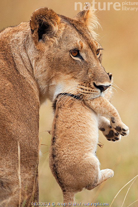African Lioness (Panthera leo) carrying her cub aged 2-3 months, Masai Mara National Reserve, Kenya. August  ,  BABIES,BIG CATS,CARNIVORES,CARRYING,EAST AFRICA,FEMALES,JUVENILE,LIONS,MAMMALS,MOTHER BABY,PORTRAITS,REMOTE CAMERA,RESERVE,VERTEBRATES,VERTICAL  ,  Anup Shah