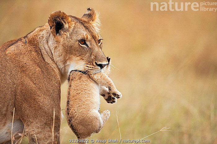 African Lioness (Panthera leo) carrying her cub aged 2-3 months, Masai Mara National Reserve, Kenya. August  ,  BABIES,BIG CATS,CARNIVORES,CARRYING,EAST AFRICA,FEMALES,JUVENILE,LIONS,MAMMALS,MOTHER BABY,PORTRAITS,REMOTE CAMERA,RESERVE,VERTEBRATES  ,  Anup Shah