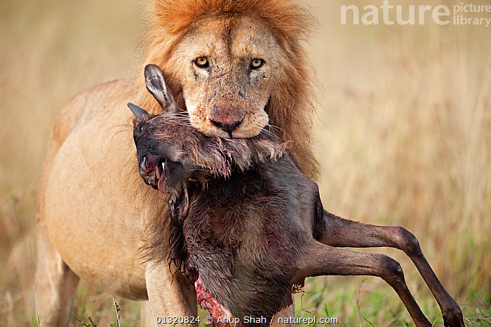 African Lion (Panthera leo) male carrying carcass of a dead wildebeest (Connochaetes taurinus) in its mouth. Masai Mara National Reserve, Kenya. September  ,  BIG CATS,CARNIVORES,EAST AFRICA,EASTERN WHITE BEARDED WILDEBEEST ,HUNTING,KILL,LIONS,MALES,MAMMALS,PORTRAITS,PREDATION,PREY,RESERVE,VERTEBRATES,Behaviour  ,  Anup Shah