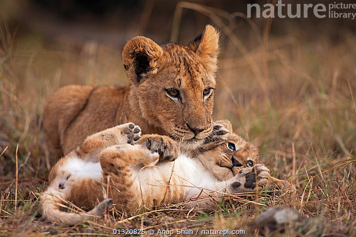 African Lion cub (Panthera leocub aged 7 months with younger cub aged 2-3 months. Masai Mara National Reserve, Kenya. September  ,  BABIES,BIG CATS,CARNIVORES,CUTE,EAST AFRICA,JUVENILE,LIONS,MAMMALS,PORTRAITS,REMOTE CAMERA,RESERVE,TWO,VERTEBRATES  ,  Anup Shah