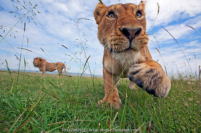 African Lioness (Panthera leo) taking a swipe at remote camera, Masai Mara National Reserve, Kenya. February  ,  AGGRESSION,BIG CATS,CARNIVORES,EAST AFRICA,FEMALES,LIONS,MAMMALS,PAWS,PORTRAITS,REMOTE CAMERA,RESERVE,VERTEBRATES,Concepts  ,  Anup Shah