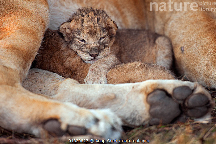African Lion cub (Panthera leo) aged less than 2 days old with its mother, Masai Mara National Reserve, Kenya. September  ,  BABIES,BIG CATS,CARNIVORES,CUTE,EAST AFRICA,FEMALES,JUVENILE,LIONS,MAMMALS,MOTHER BABY,PORTRAITS,REMOTE CAMERA,RESERVE,SMALL,TINY,VERTEBRATES,YOUNG  ,  Anup Shah