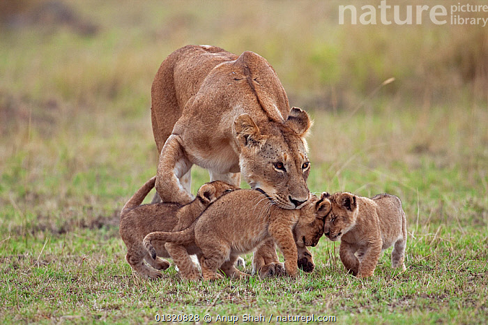 African Lioness  (Panthera leo) picking-up 2-3 month old cub in her mouth while others follow. Masai Mara National Reserve, Kenya. September  ,  BABIES,BIG CATS,CARNIVORES,EAST AFRICA,FAMILIES,FEMALES,JUVENILE,LIONS,MAMMALS,MOTHER BABY,PORTRAITS,RESERVE,VERTEBRATES  ,  Anup Shah