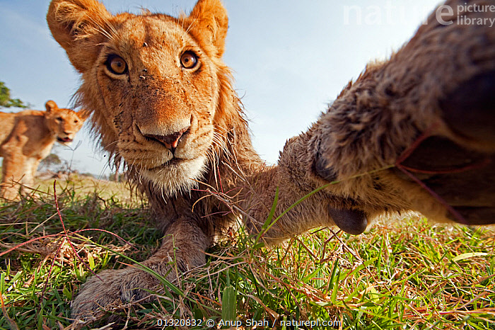 African Lion (Panthera leo) head portrait of juvenile male reaching out with his paw, Masai Mara National Reserve, Kenya. March  ,  BIG CATS,CARNIVORES,EAST AFRICA,JUVENILE,LIONS,LOW ANGLE SHOT,MAMMALS,PAWS,PORTRAITS,REMOTE CAMERA,RESERVE,VERTEBRATES  ,  Anup Shah