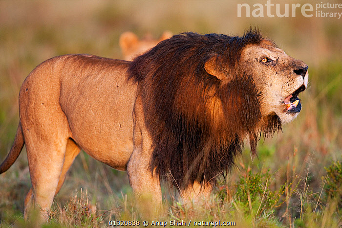 Male African Lion (Panthera leo) with dark mane, contact roaring Masai Mara National Reserve, Kenya. March  ,  BEHAVIOUR,BIG CATS,CALLING,CARNIVORES,EAST AFRICA,LIONS,MALES,MAMMALS,PORTRAITS,RESERVE,VERTEBRATES,VOCALISATION  ,  Anup Shah