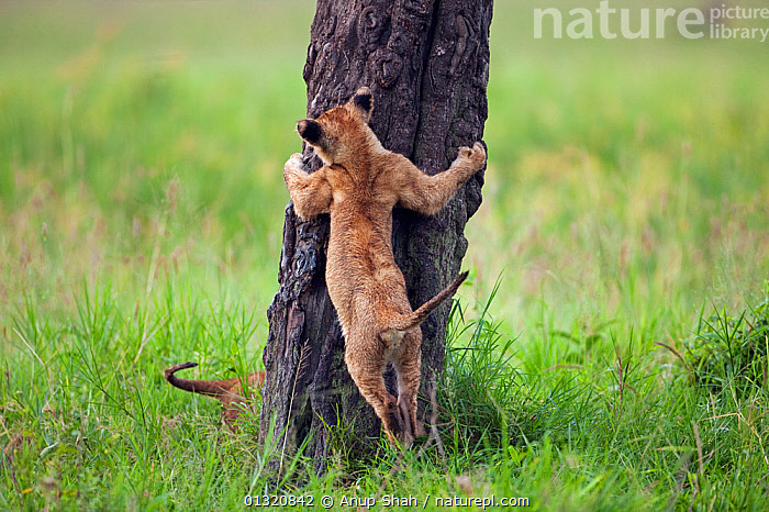 Two African Lion cubs (Panthera leo) aged 3-6 months, playing on a tree trunk, Masai Mara National Reserve, Kenya. February  ,  BABIES,BEHAVIOUR,BIG CATS,CARNIVORES,EAST AFRICA,FIGHTING,LIONS,MAMMALS,PLAY,PORTRAITS,RESERVE,VERTEBRATES,Aggression,Communication  ,  Anup Shah