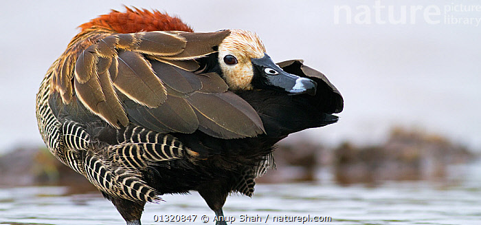 White-faced whistling duck (Dendrocygna viduata)preening tail feathers, Masai Mara National Reserve, Kenya. February  ,  BEHAVIOUR,BIRDS,EAST AFRICA,FEATHERS,PORTRAITS,RESERVE,VERTEBRATES,WATER,WATERFOWL,WHISTLING DUCKS,Wildfowl  ,  Anup Shah