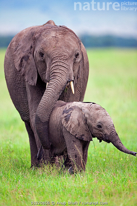 African elephant calf (Loxodonta africana)a ged 3-6 months walking with a sub-adult, Masai Mara National Reserve, Kenya. March  ,  BABIES,CARE,EAST AFRICA,ELEPHANTS,ENDANGERED,JUVENILE,MAMMALS,PROBOSCIDS,PROTECTION,RESERVE,SAFE,VERTEBRATES,VERTICAL,WALKING  ,  Anup Shah