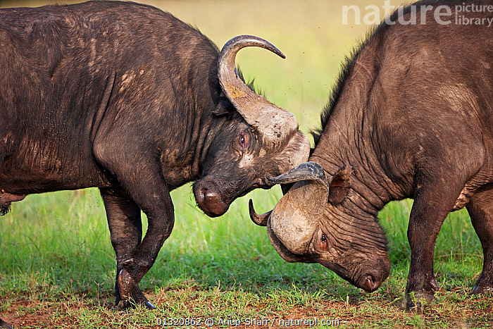 Two Cape / African Buffalo (Syncerus caffer) males fighting as a test of strength, Masai Mara National Reserve, Kenya. February  ,  ARTIODACTYLA,BOVIDS,BUFFALOS,DOMINANCE,EAST AFRICA,FIGHTING,HORNS,MALES,MAMMALS,RESERVE,TWO,VERTEBRATES,Aggression,Cattle  ,  Anup Shah