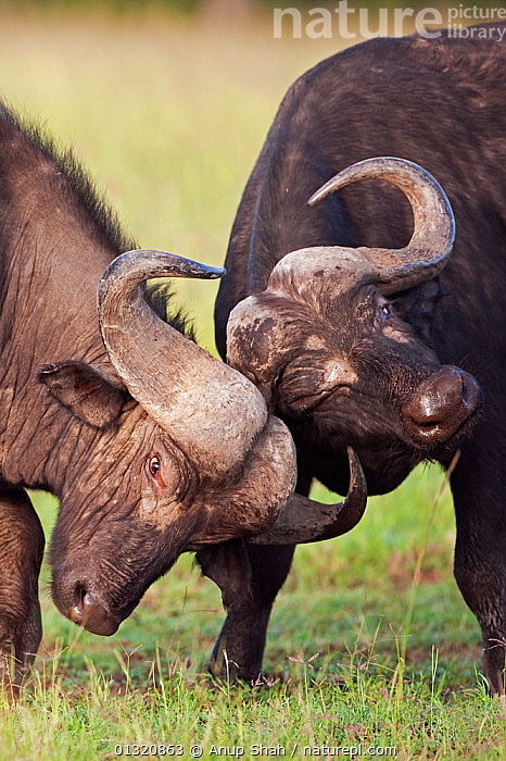Two Cape / African Buffalo (Syncerus caffer) males fighting as a test of strength, Masai Mara National Reserve, Kenya. February  ,  animal head,ARTIODACTYLA,BOVIDS,BUFFALOS,catalogue3,close up,CLOSE UPS,DOMINANCE,EAST AFRICA,facila expression,FIGHTING,GROUPS,head to head,HEADS,HORNS,Kenya,male animal,MALES,MAMMALS,Masai Mara,National Reserve,Nobody,one eye closed,opposition,outdoors,RESERVE,rivalry,two animals,VERTEBRATES,VERTICAL,WILDLIFE,Aggression,Cattle  ,  Anup Shah