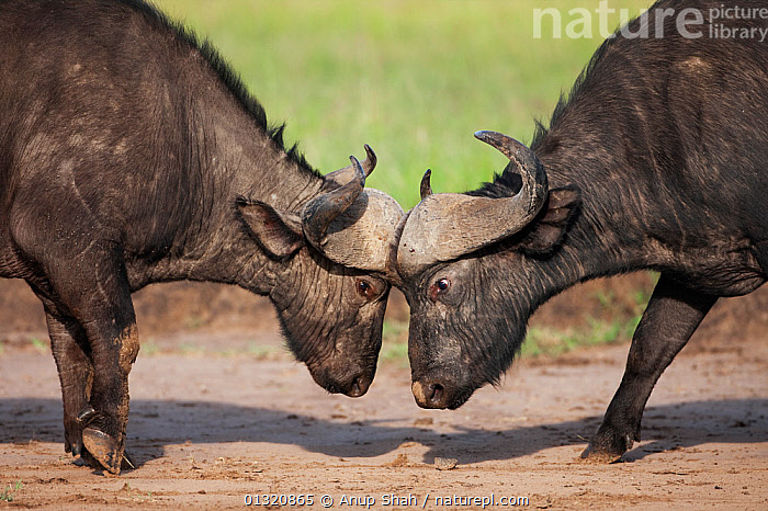 Two Cape / African Buffalo (Syncerus caffer) males fighting as a test of strength, Masai Mara National Reserve, Kenya. February  ,  ARTIODACTYLA,BOVIDS,BUFFALOS,DOMINANCE,EAST AFRICA,FIGHTING,GROUPS,HORNS,MALES,MAMMALS,RESERVE,TWO,VERTEBRATES,Aggression,Cattle  ,  Anup Shah