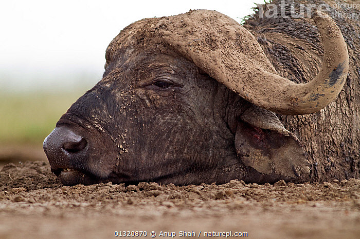 Cape / African Buffalo (Syncerus caffer) head portrait of male caked in mud, Masai Mara National Reserve, Kenya. February  ,  ARTIODACTYLA,BOVIDS,BUFFALOS,EAST AFRICA,GROUPS,LYING DOWN,MAMMALS,RESERVE,VERTEBRATES,Cattle  ,  Anup Shah