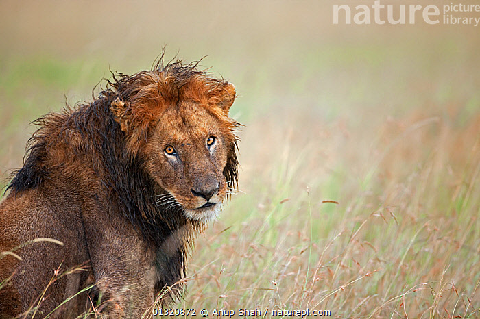 African Lion (Panthera leo) male head portrait, wet from rain storm, Masai Mara National Reserve, Kenya. February  ,  BIG CATS,CARNIVORES,EAST AFRICA,LIONS,MALES,MAMMALS,PORTRAITS,RAIN,RAINING,RESERVE,VERTEBRATES,WEATHER,WET  ,  Anup Shah