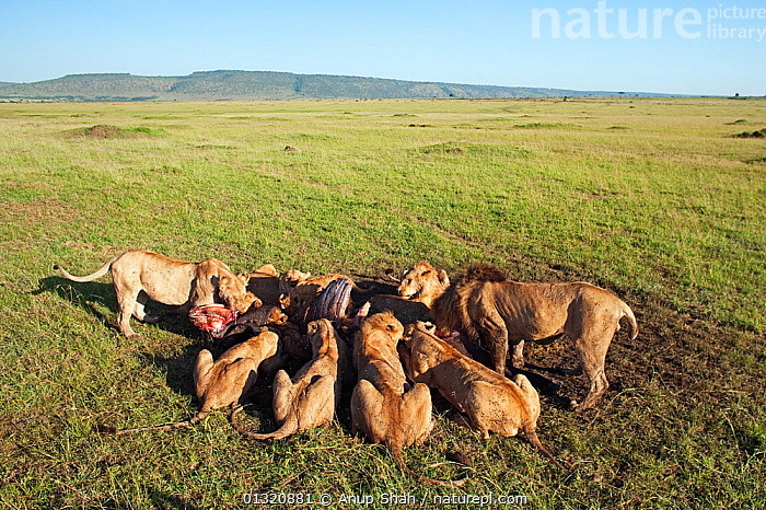 African Lion pride (Panthera leo) feeding on a kill, Masai Mara National Reserve, Kenya. February  ,  BEHAVIOUR,BIG CATS,CARNIVORES,EAST AFRICA,FAMILIES,FEEDING,GROUPS,LANDSCAPES,LIONS,MAMMALS,PORTRAITS,REMOTE CAMERA,RESERVE,SAVANNA,VERTEBRATES,Grassland  ,  Anup Shah