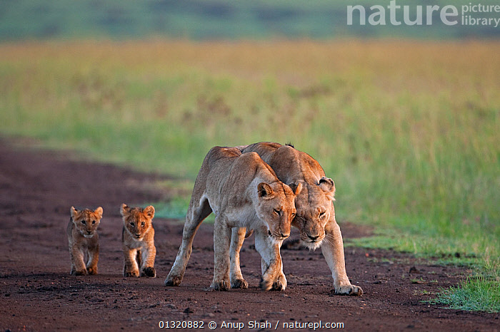 African Lionesses (Panthera leo) with their cubs aged 3-6 months walking along a track, Masai Mara National Reserve, Kenya. February  ,  AFFECTIONATE,BABIES,BIG CATS,CARNIVORES,EAST AFRICA,FAMILIES,FEMALES,JUVENILE,LIONS,MAMMALS,PORTRAITS,RESERVE,VERTEBRATES,WALKING,concepts  ,  Anup Shah