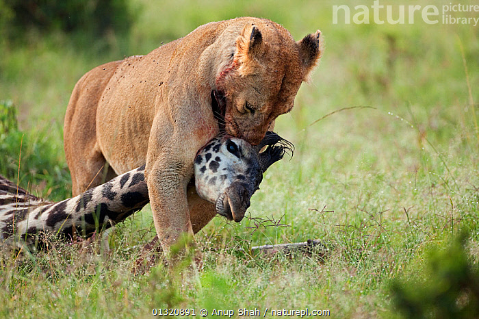 African Lioness (Panthera leo) dragging the carcass of a giraffe she has just killed, Masai Mara National Reserve, Kenya. February  ,  BIG CATS,CARNIVORES,EAST AFRICA,FEMALES,HUNTING,KILL,LIONS,MAMMALS,PORTRAITS,PREDATION,PREY,REMOTE CAMERA,RESERVE,VERTEBRATES,Behaviour  ,  Anup Shah