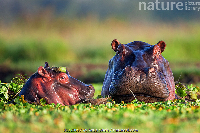 Hippopotamus female and calf (Hippopotamus amphibius) head portraits, submerged in lily covered pool, Masai Mara National Reserve, Kenya. February  ,  ARTIODACTYLA,BABIES,EAST AFRICA,HIPPO,HIPPOPOTAMUSES,JUVENILE,MAMMALS,MOTHER BABY,PONDS,PORTRAITS,RESERVE,VERTEBRATES,WATER  ,  Anup Shah
