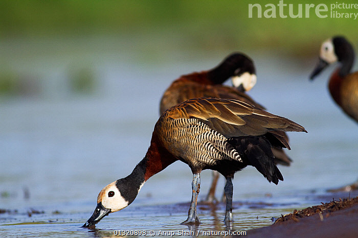 White-faced whistling ducks (Dendrocygna viduata) drinking from the river, Masai Mara National Reserve, Kenya. February  ,  BIRDS,DRINKING,EAST AFRICA,RESERVE,RIVERS,VERTEBRATES,WATER,WATERFOWL,WHISTLING DUCKS,Wildfowl  ,  Anup Shah