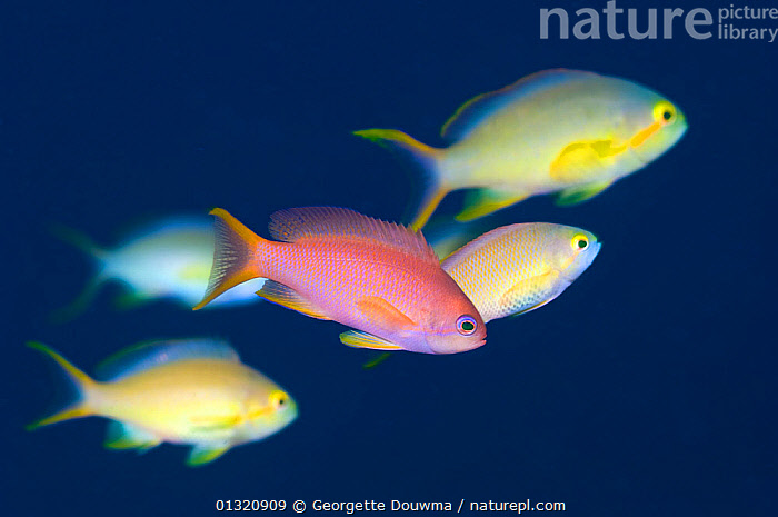 Lyrtetail anthias (Pseudanthias squamipinnis) in water column with Peach anthias (Pseudanthias dispar) in background. Indonesia, October  ,  ACTION,ANTHIAS,ASIA,blue background,catalogue3,close up,CLOSE UPS,CUTE,differential focus,direction,FISH,five animals,focus on foreground,FRIENDSHIP,full length,GROUPS,INDONESIA,INDO PACIFIC,MARINE,marine life,medium group,medium group of animals,MIXED SPECIES,Nobody,on the move,OSTEICHTHYES,Peach anthias,PINK,Pseudanthias dispar,SEALIFE,selective focus,side view,SWIMMING,Togetherness,TROPICAL,UNDERWATER,VERTEBRATES,water column,YELLOW,Concepts,SOUTH-EAST-ASIA,core collection xtwox  ,  Georgette Douwma