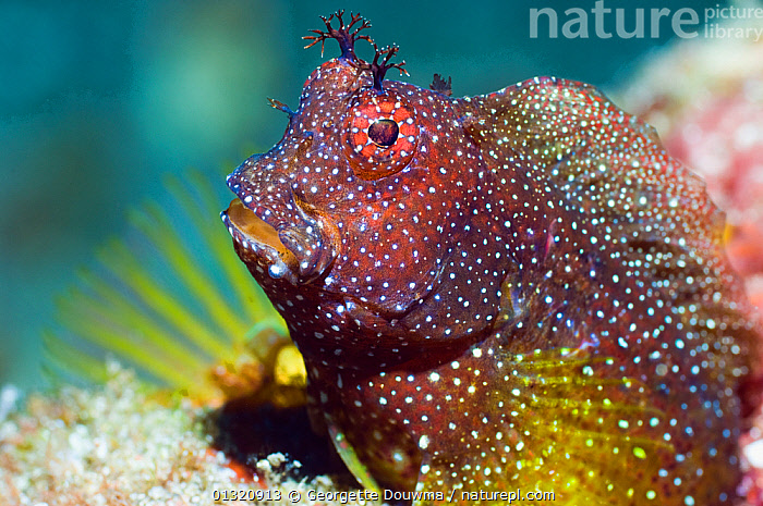 Snowflake blenny (Salarias ramosus) Rinca, Komodo National Park, Indonesia, October  ,  ASIA,BLENNIES,BLENNIIDAE,FISH,HUMOROUS,INDONESIA,INDO PACIFIC,MARINE,OSTEICHTHYES,PORTRAITS,TROPICAL,UNDERWATER,VERTEBRATES,Concepts,SOUTH-EAST-ASIA,core collection xtwox,,NP,Komodo National Park,UNESCO World Heritage Site,  ,  Georgette Douwma
