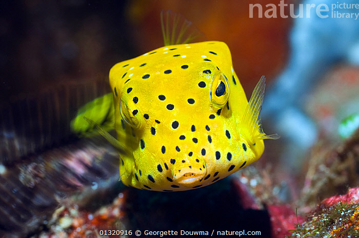 Juvenile Yellow boxfish / Cube trunkfish (Ostracion cubicus) Rinca, Komodo National Park, Indonesia, October  ,  ASIA,BOXFISH,FISH,INDONESIA,INDO PACIFIC,JUVENILE,MARINE,NP,OSTEICHTHYES,OSTRACIIDAE,RESERVE,SPOTS,TROPICAL,TRUNKFISH,UNDERWATER,VERTEBRATES,YELLOW,SOUTH-EAST-ASIA,National Park,core collection xtwox,,NP,Komodo National Park,UNESCO World Heritage Site,  ,  Georgette Douwma