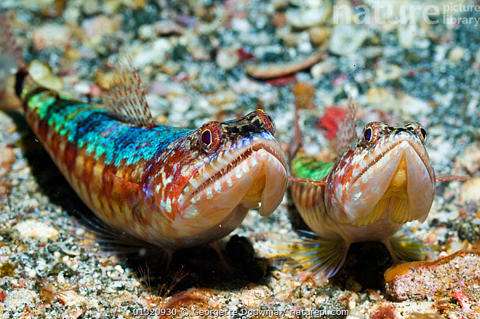 Two Common lizard fish (Synodus variegatus) lying in wait for prey, Rinca, Komodo National Park, Indonesia, October  ,  ASIA,BEHAVIOUR,COLOURFUL,FISH,HUNTING,INDONESIA,INDO PACIFIC,LIZARDFISH,MARINE,NP,OSTEICHTHYES,RESERVE,SYNODONTIDAE,TROPICAL,UNDERWATER,VERTEBRATES,SOUTH-EAST-ASIA,National Park,core collection xtwox,,NP,Komodo National Park,UNESCO World Heritage Site,  ,  Georgette Douwma