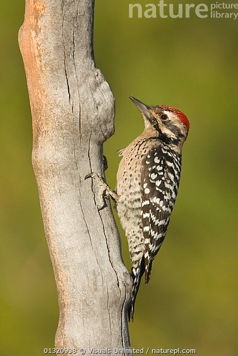 Ladder-backed woodpecker (Picoides scalaris) male perching on a snag, Arizona, USA. January  ,  ANIMAL,ARIZONA,BEAK,BILL,BIRDS,CLOSE UP,FEATHER,FEET,LADDER BACKED,MALE,ONE,OUTDOORS,PICOIDES,SCALARIS,TAIL,USA,VERTICAL,WOODPECKER,North America  ,  Visuals Unlimited