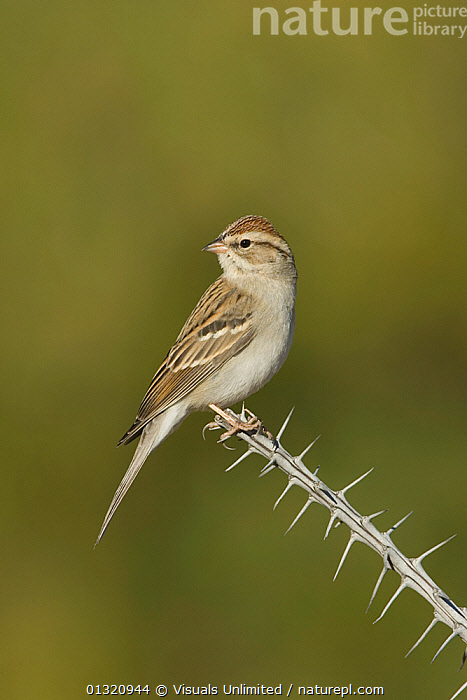 Chipping sparrow (Spizella passerina) in winter plumage, perched on an Ocotillo branch, Arizona, USA. January  ,  ANIMAL,ARIZONA,BIRDS,CHIPPING,CLOSE UP,ONE,OUTDOORS,PASSERINA,SPARROW,SPIZELLA,USA,VERTICAL,North America  ,  Visuals Unlimited