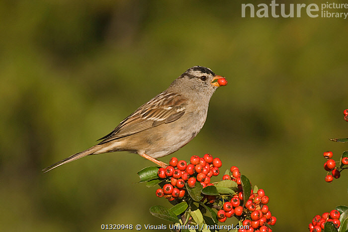 White-crowned sparrow (Zonotrichia leucophrys) feeding on a Pyracantha berry, North America. March  ,  AMERICA,ANIMAL,BEAK,BERRY,BILL,BIRDS,CHAIN,CLOSE UP,COLORS,EATING,FOOD,HERBIVOROUS,LEUCOPHRYS,NORTH,ONE,OUTDOORS,PYRACANTHA,SEED,SPARROW,VIVID,WHITE CROWNED,WILDLIFE,ZONOTRICHIA  ,  Visuals Unlimited