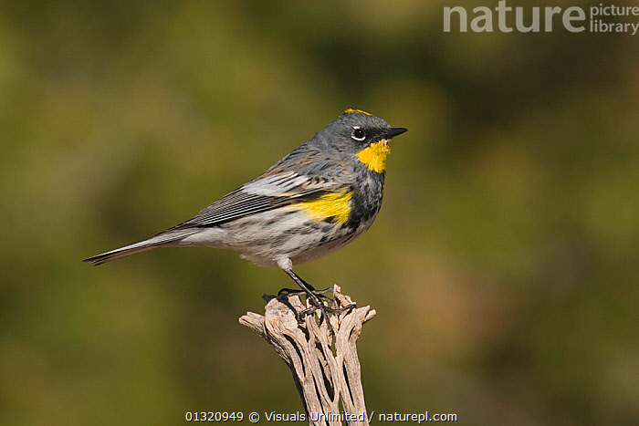 Yellow-rumped myrtle / Audubon's warbler (Dendroica coronata) perched on a Cholla Cactus skeleton, Arizona, USA. March  ,  AMERICA,ANIMAL,ARIZONA,AUDUBON'S,BIRDS,CLOSE UP,CORONATA,DENDROICA,MYRTLE,NORTH,ONE,OUTDOORS,USA,WARBLER,YELLOW RUMPED,North America  ,  Visuals Unlimited