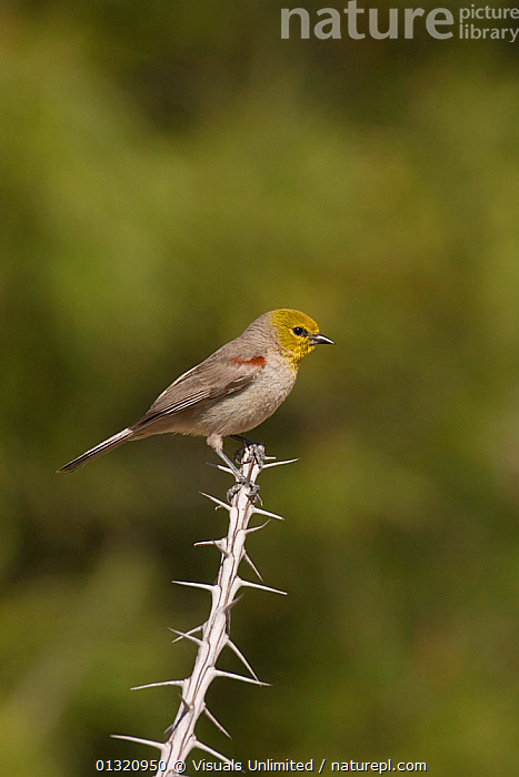 Verdin (Auriparus flaviceps) perched on an Ocotillo branch, Arizona, USA. April  ,  ANIMAL,ARIZONA,AURIPARUS,BIRDS,CLOSE UP,FLAVICEPS,ONE,OUTDOORS,USA,VERDIN,VERTICAL,WILDLIFE,North America  ,  Visuals Unlimited