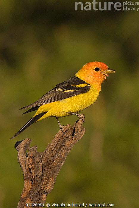Western tanager (Piranga ludoviciana) male perched on a snag, Western North America. April  ,  ANIMAL,BEAUTY,BIRDS,CLOSE UP,COLORS,LUDOVICIANA,MALE,ONE,OUTDOORS,PIRANGA,TANAGER,USA,VERTICAL,VIVID,WESTERN,North America  ,  Visuals Unlimited