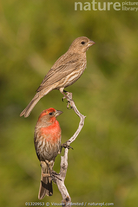 House finch (Carpodacus mexicanus) male and female on a perch, Arizona, USA. May  ,  ANIMAL,ANIMALS,ARIZONA,BEAK,BILL,BIRDS,CARPODACUS,CLOSE UP,DIMORPHISM,FEMALE,FINCH,HOUSE,MALE,MEXICANUS,OUTDOORS,PAIR,SEXUAL,TOGETHERNESS,TWO,USA,VERTICAL,North America  ,  Visuals Unlimited