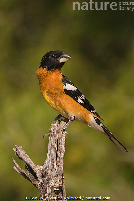 Black-headed grosbeak (Pheucticus melanocephalus) male perched on a snag, Arizona, USA. May  ,  ANIMAL,ANIMALS,ARIZONA,BEAK,BILL,BIRDS,BLACK HEADED,CLOSE UP,GROSBEAK,MALE,MELANOCEPHALUS,ONE,OUTDOORS,PHEUCTICUS,USA,VERTICAL,WILD,North America  ,  Visuals Unlimited